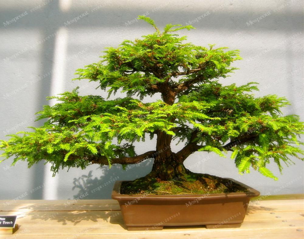unidsbolsa sequoia redwood coast semillas semillas de sequoia rbol de los bonsai en maceta para el hogar y j