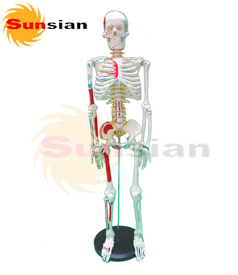 85cm skeleton with muscle markings on half body with spinal nerves and intervertebral discs  factory supply good news factory price human skeleton model with colored muscle of half body