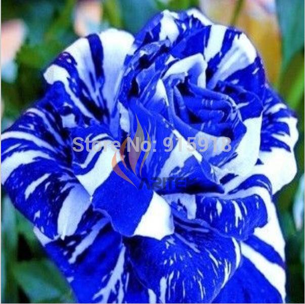 Flower plants 200Pcs plants BLUE STRIPE ROSE RARE ROSE ROSE BUSH BLUE WHITE DRAGON