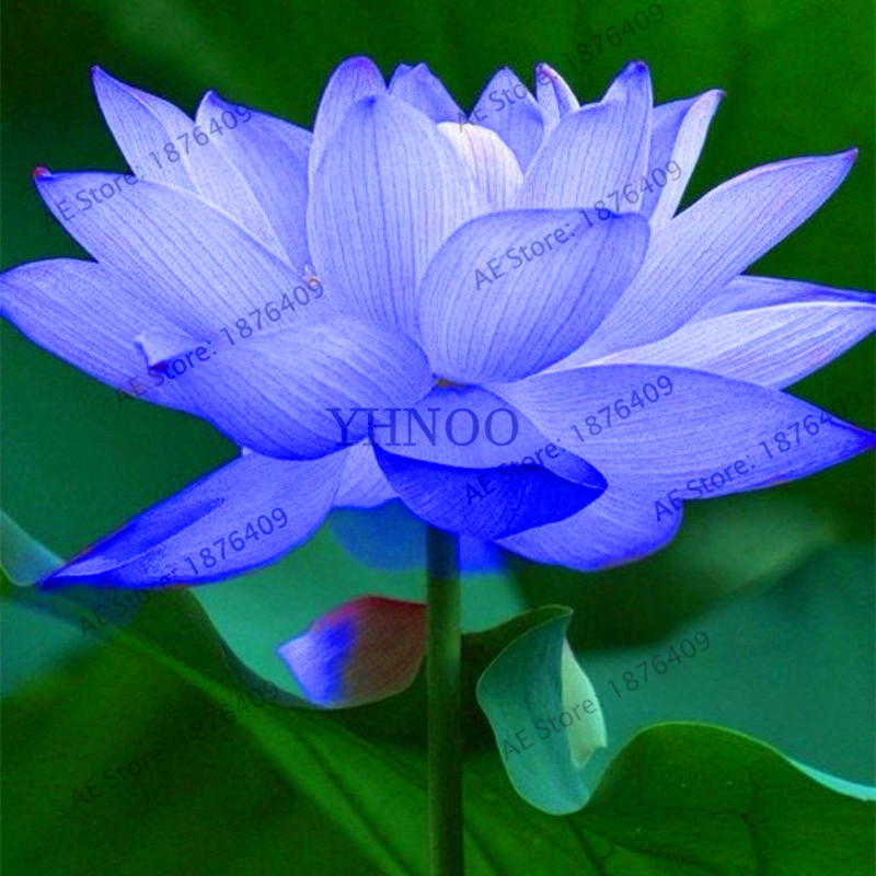 New Fresh Easy Sowing Flowers Potted Balcony Seasons Bowl Lotus Bonsai Lotus Water Lily Lotus Water Hydroponics Raw Raise10