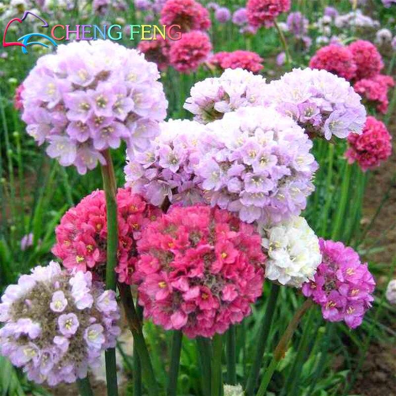 100 Pcs Seagrass Seeds A Bag Beautiful Like Onion Flower ...