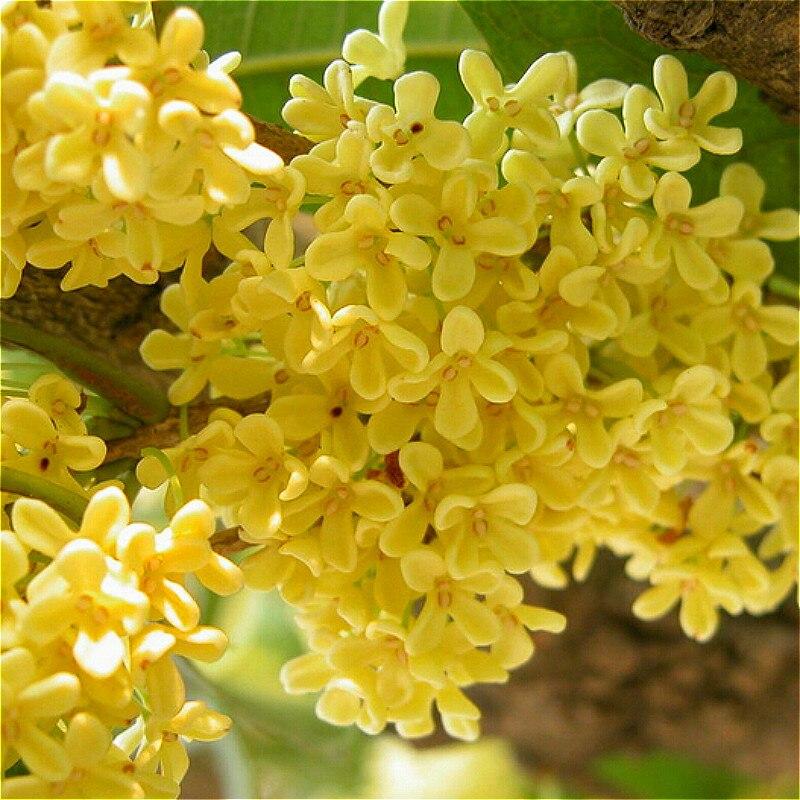 acquista all'ingrosso online osmanthus fragrans pianta da ... - Un Piccolo Giardino Fragrante