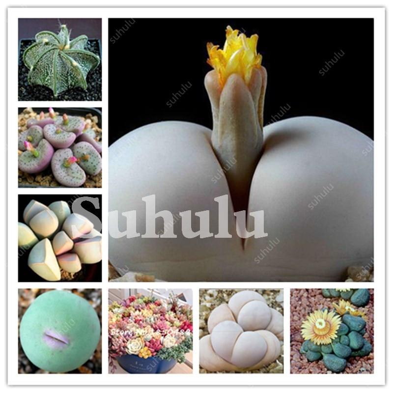 Multiples Plantes Ornementales 200 pièces Mixte Cactus Bonsaï Attrayant Impressionnant Naturel Maison & Jardin Succulentes Plantes D'intérieur