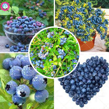 100pcs sweet blueberry seeds Vaccinium Spp fruit seeds Perennial plants bonsai tree for home garden Best packaging Easy to grow