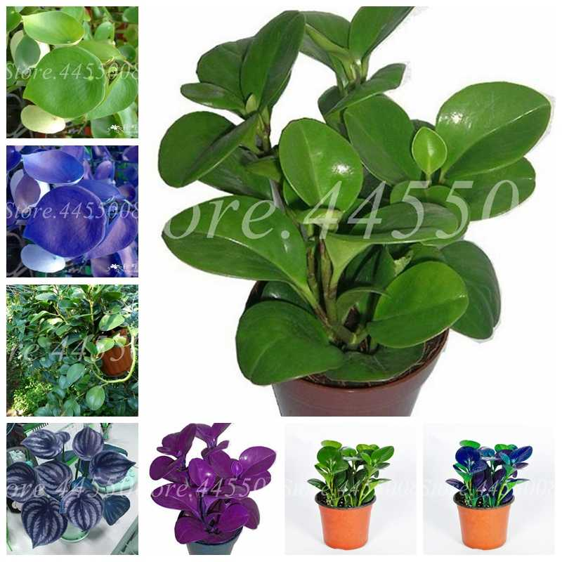 Spring Bonsai Peperomia Tetraphylla Plant 100 Pcs Mix Peperomia Flower Novel Blooming Plant for Courtyard Garden (Mixed Color)