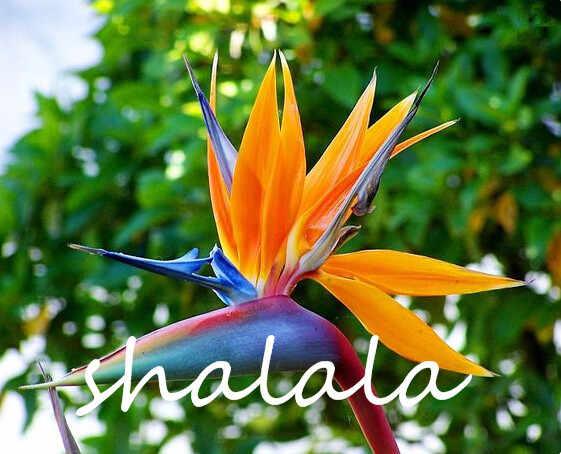 ขาย! 100 pcs หายาก Houseplants Strelitzia Reginae flores hybrid bird paradise plantas ดอกไม้ plante bonsai พืชสำหรับ garden