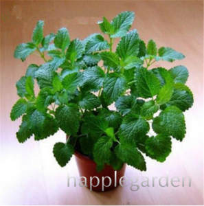 Stevia Bonsai Chrysanthemum Herbs-Plants Leaf Sweet Indoor Green-Herb 100pcs