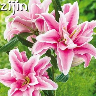 Hete verkoop 50 stks Echte roze lelie Bonsai Leliebloem Planten Zwakke knoflook Bonsai Pot planten voor tuin