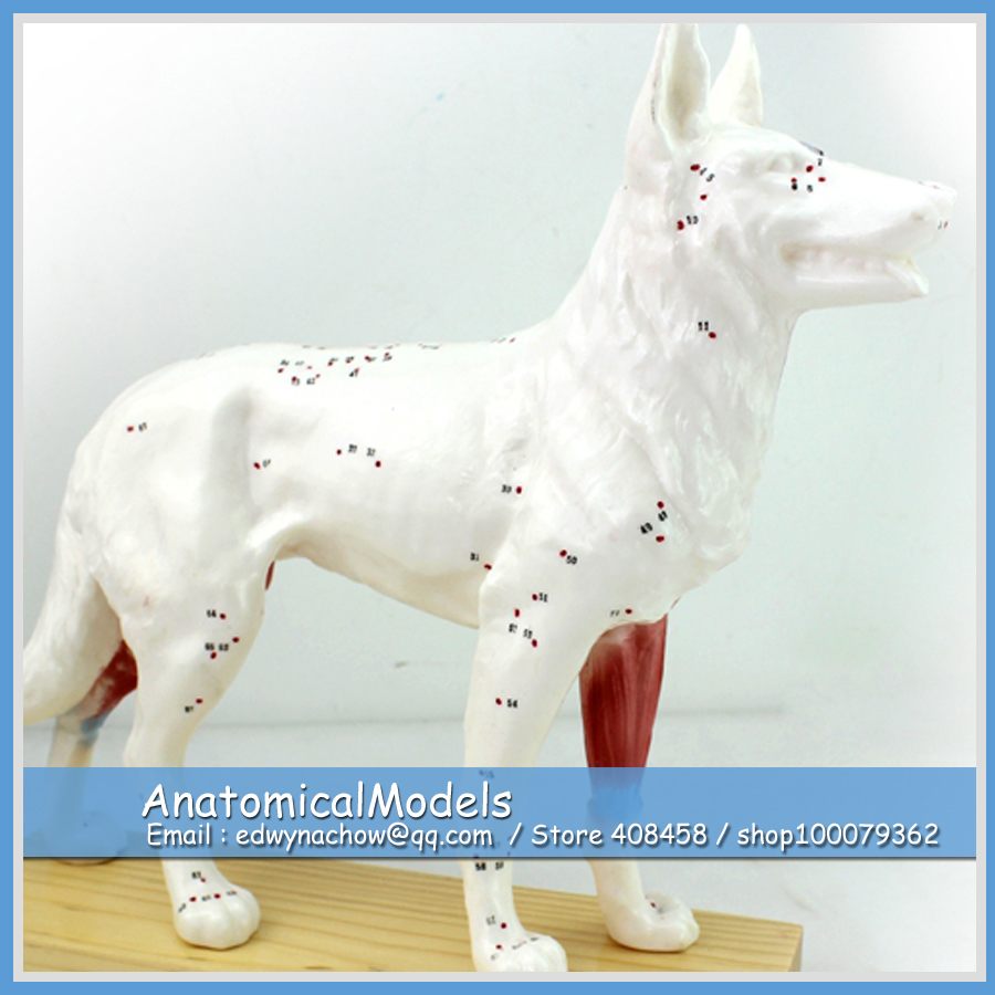 CMAM-A05 Dog Acupuncture Organ Anatomical Model for Animal Body Study