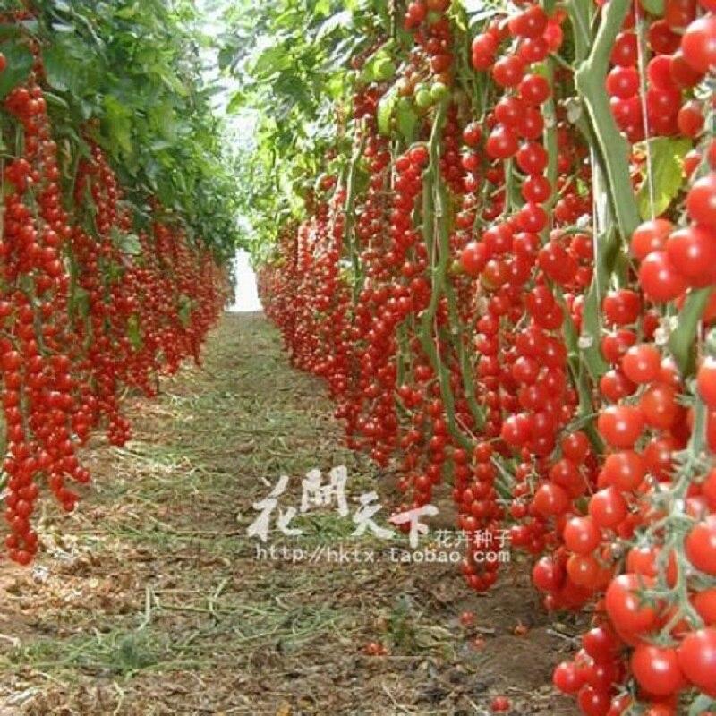 Online Get Cheap Tomato Plants Sale