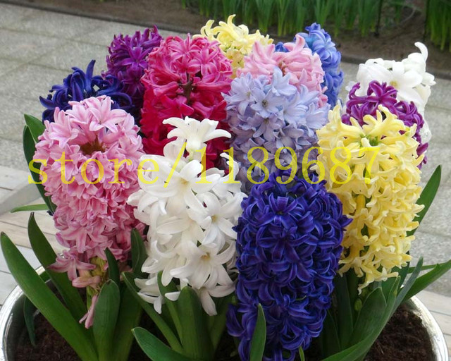 20pcs Real Hyacinthus Seeds Soil Culture Hydroponic Hyacinth Flower Plants  Indoor Plants Seeds