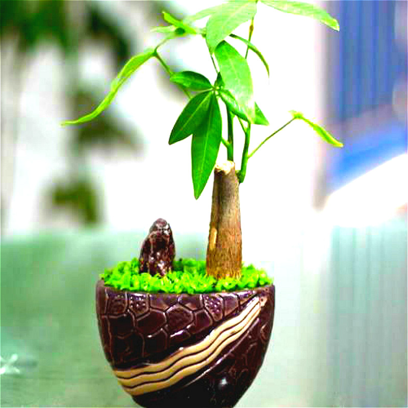 50 pcspack pachira macrocarpa seeds 100 home office true bonsai tree pachira money bonsai tree office
