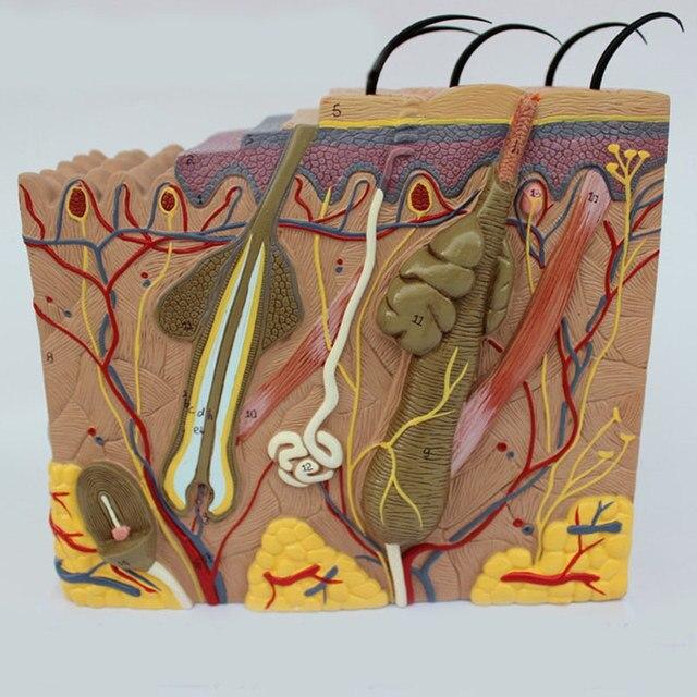 50 keer 24x23x11 cm Menselijke Huid en Haar Structuur Vergroten Model Skin Layer Structuur Model Menselijks Skelet Anatomisch Model