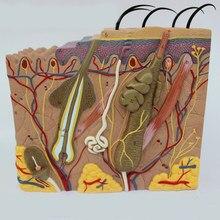 Estructura de piel y cabello humano, modelo de capa de piel, maqueta anatómica de esqueleto, 50 veces 24x23x11cm