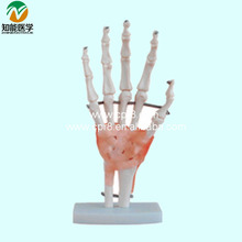 BIX-A1021  Plastic Hand Model With Ligaments Medical Instruments G063