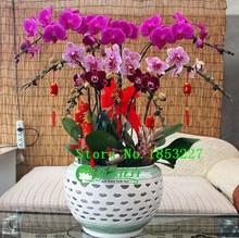 phalaenopsis orchid plant, free phalaenopsis seeds Indoor planting flowers 50seeds