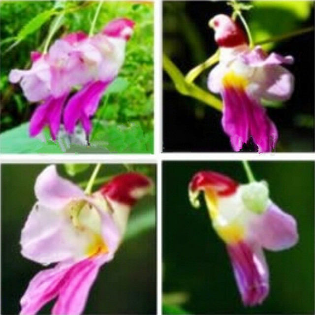 China Rare Parrot Orchid Flower Seed Worlds Rare High Grade Bonsai
