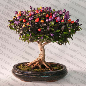200Pcs-Giant-Spices-Spicy-Red-Chili-Hot-Pepper-flores-Plants-potted-bonsai-garden-courtyard-balcony-plant.jpg_640x640 (4)_