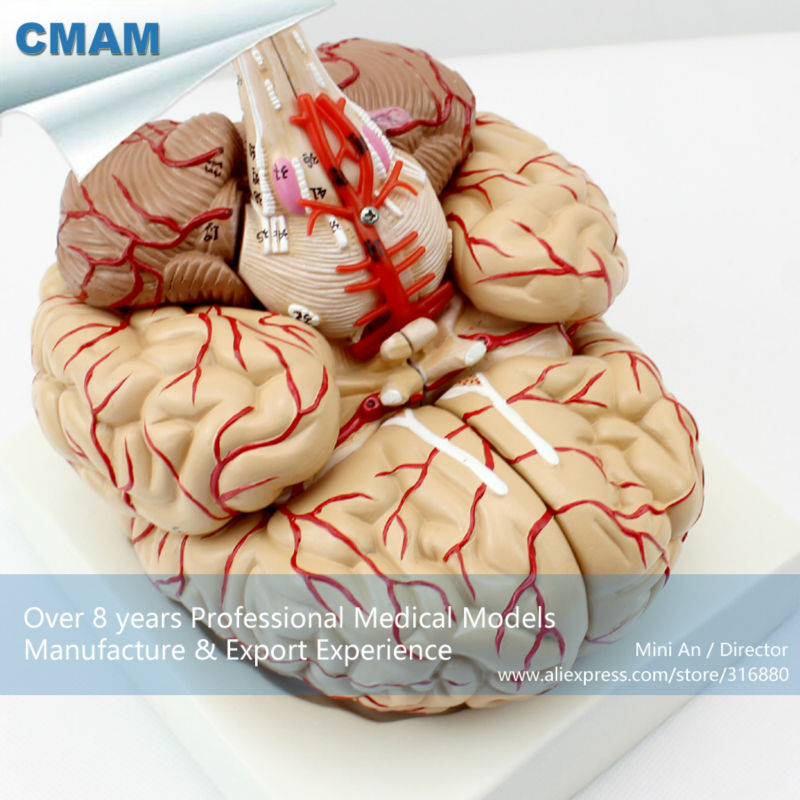 12404 CMAM-BRAIN07 Life Size Human Brain with Arteries - 9 Parts, Anatomy Models > Brain Models 12479 cmam heart03 full life size human adult heart anatomy model 2 parts anatomy models heart models