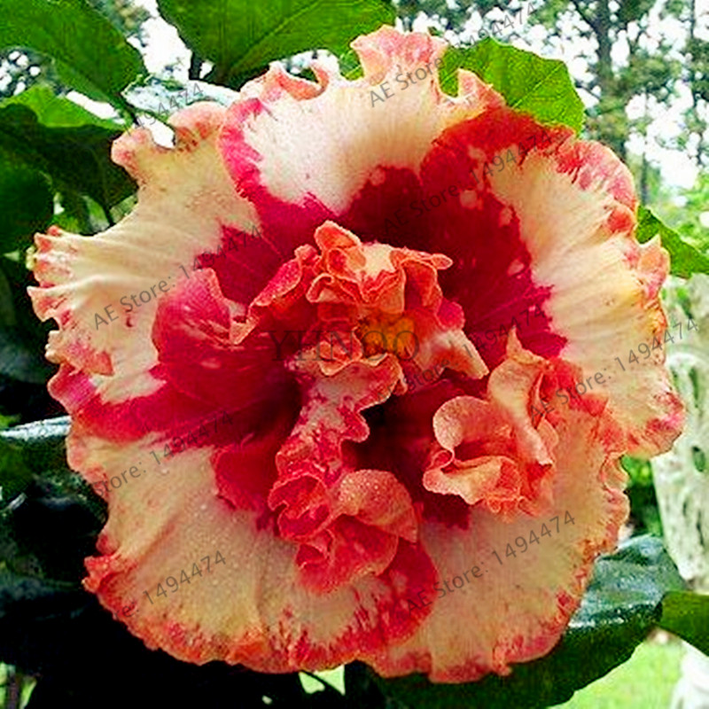 ⑦100pcs/bag24 colors giant hibiscus seeds Dinnerplate Hibiscus ...