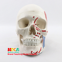 Medical use of human muscle start and stop nodding head bone skull model partition muscle model nerve Department of orthopedics