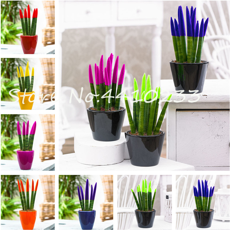 100 Pcs Colorful Sansevieria Bonsai