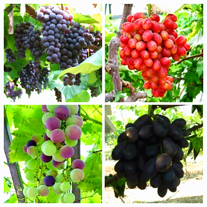 Big Sale!Miniature Grape Vine Seeds, PATIO SYRAH, Vitis Vinifera, Houseplant, 50 Seeds, Fruit bonsai seeds ...