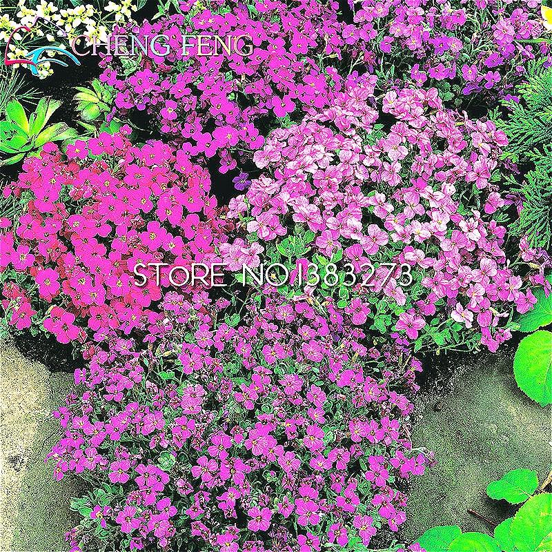 Flower Seeds 50 Aubrieta Seeds Cascade Purple Flower Seeds