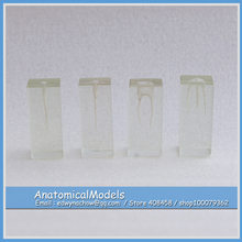 ED-DH1401 S1 Series Root Canal Transparent Block 4in1, Medical Science Educational Dental Teaching Models