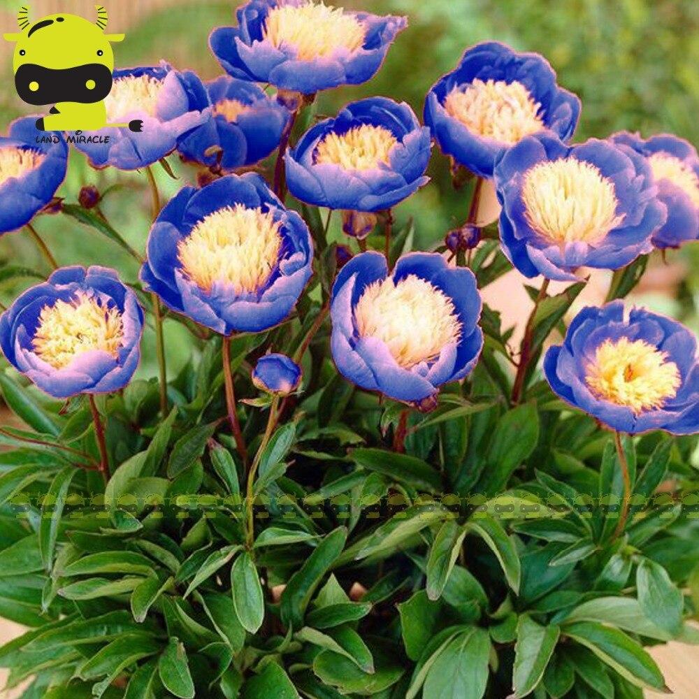 Фамильные чаши красоты Пион цветок семян, 5 seed/пакет, редкие бездействующих растения синий suffruticosa ...