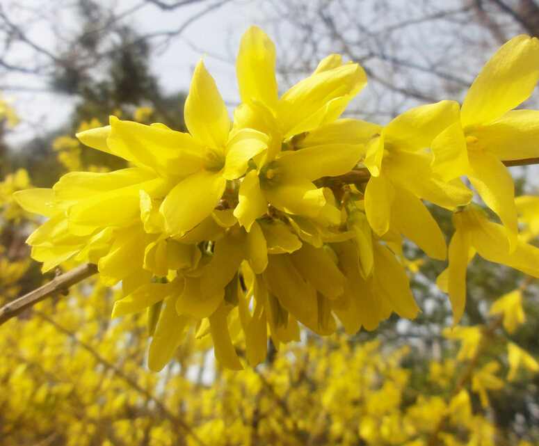 popular forsythia flowerbuy cheap forsythia flower lots from, Beautiful flower