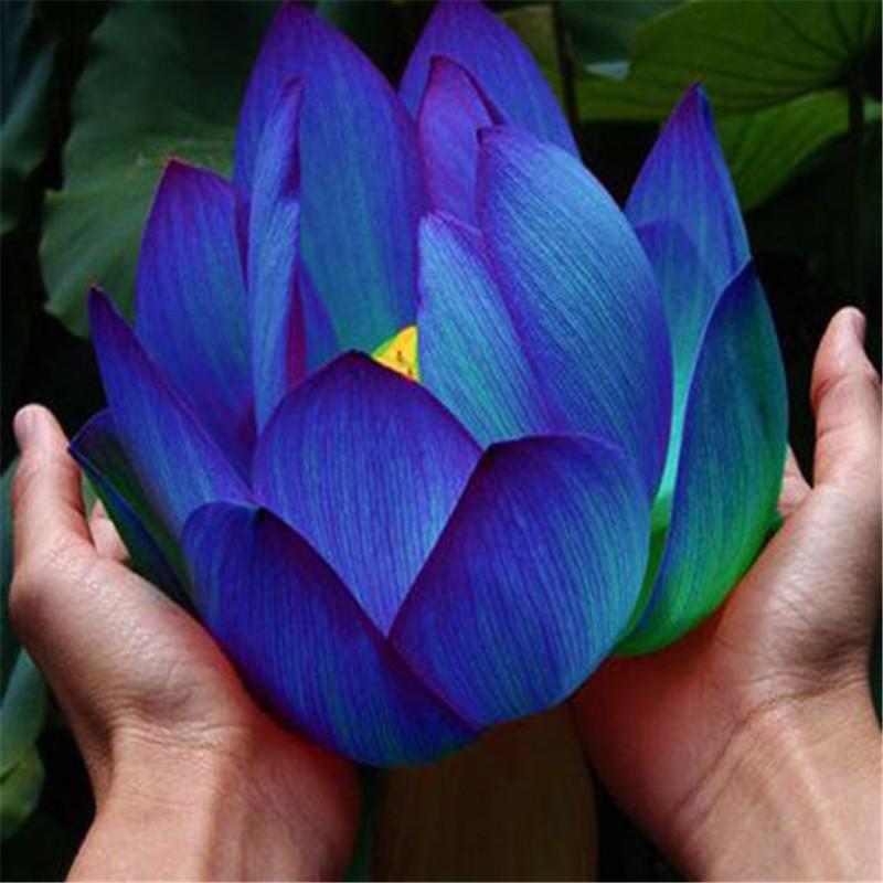 10-pcs-Aquatic-plants-flower-seeds-bowl-lotus-Water-Lilies-lotus-seeds-100-genuine-rainbow-seeds