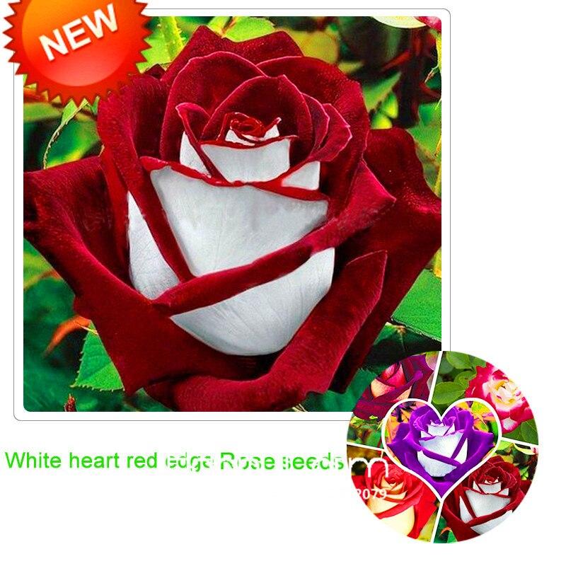 Promoção! Branco Borda Vermelha Rose Sementes Jardim Sementes de Plantas Em Vaso Rosa Raro Sementes de Flores Varanda Coberta 100 Pçs/saco, # DZSG3V