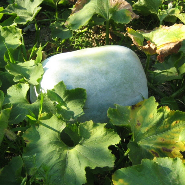 White Wax Gourd Summer Best Vegetable Seeds ,12 Seeds Per Pack Semenatsvety  Vegetables For Home