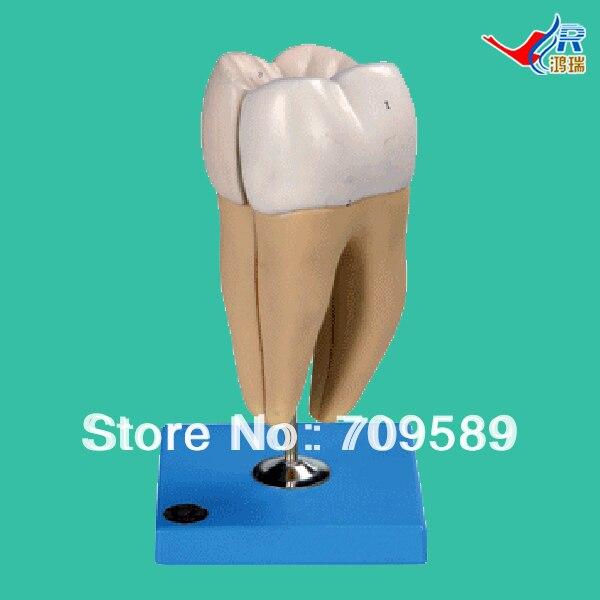 ISO Нижнего Моляра Модель с Двумя Корни, зубы модели