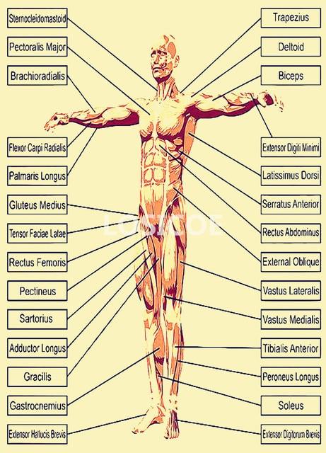 Home Rumah Anatomía Del Bíceps — Sceneups
