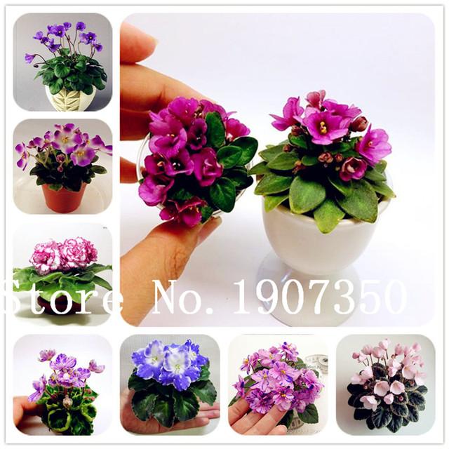 Home Garden Bonsai 200 Pcs Variety of Colors Mini Violet Flower Garden Plants Violet Flowers Perennial Herb Matthiola Incana