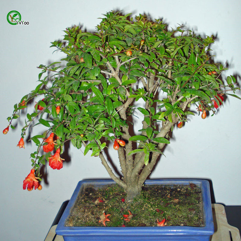 compare prices on pomegranate tree online shopping/buy low price, Natural flower