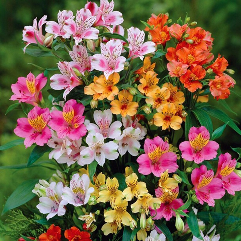 Zlking 100/bag Peruvian Lily Peruvian Lily Mix perennial Bonsai Activating Blood Circulation And Strengthening Sinews And Bones Flower alstroemeria