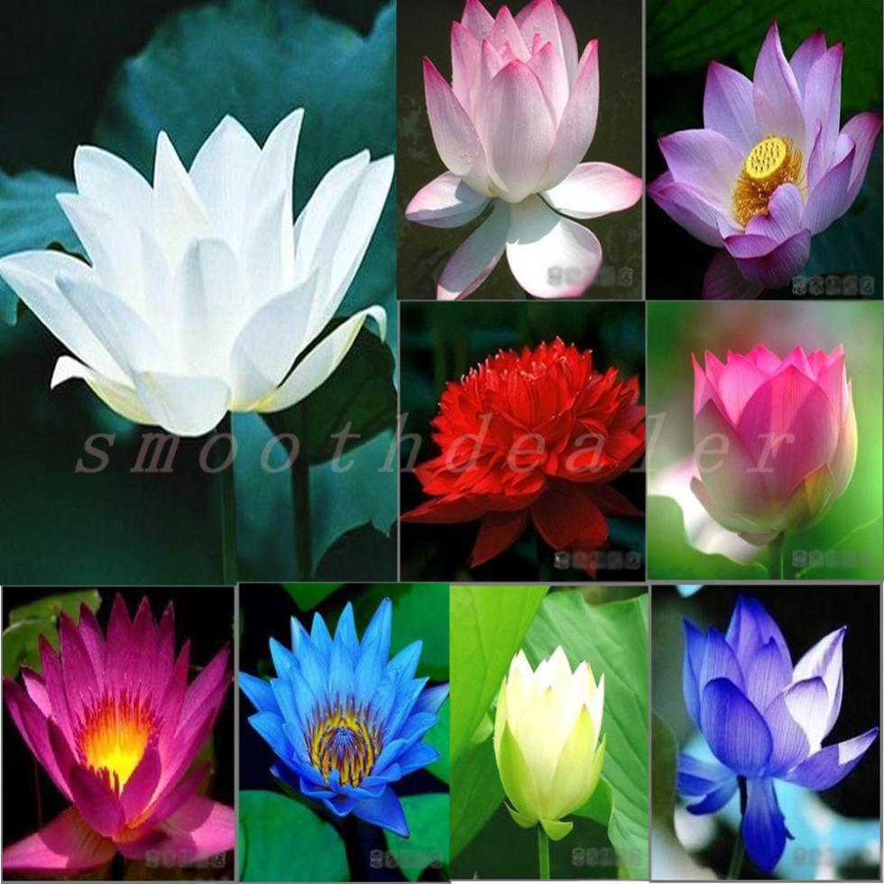 Lotus seeds aquatic plants blossom water lily seed bonsai plants lotus seeds aquatic plants blossom water lily seed bonsai plants seeds for home garden 5 seedsbag free shipping in bonsai from home garden on izmirmasajfo Images