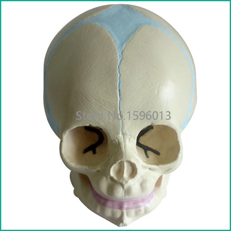 Infant skull model,Fetal/baby Skull Model female pelvic fetal model nine months of pregnancy fetus uterine embryo development model fetal development model gasen sz017