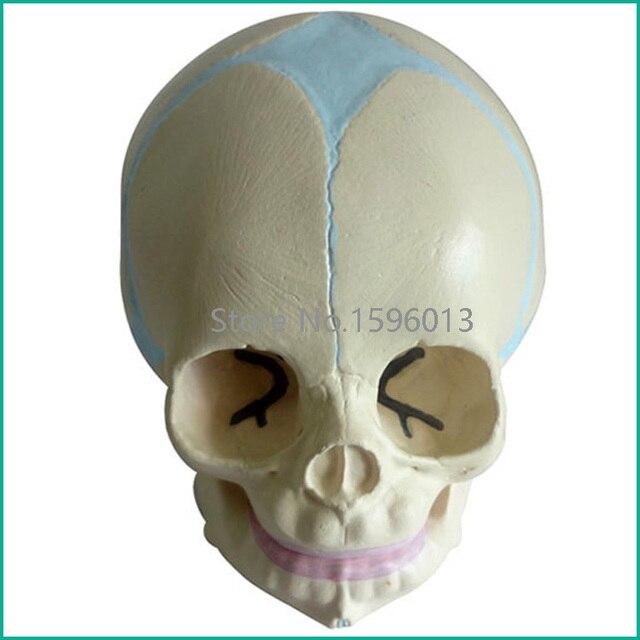 Infant Skull Modelfetalbaby Skull Model In Medical Science From
