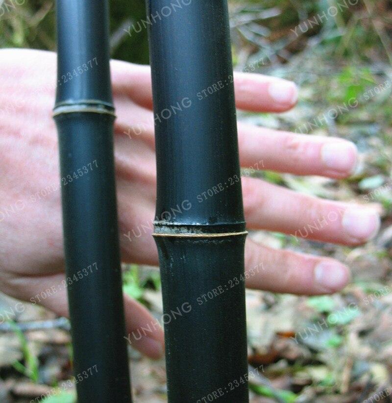 50 Pcs Bamboo Seeds Rare Giant Black Moso Bambu Professional Pack Bambusa Lako Tree For Home Garden In Bonsai From On