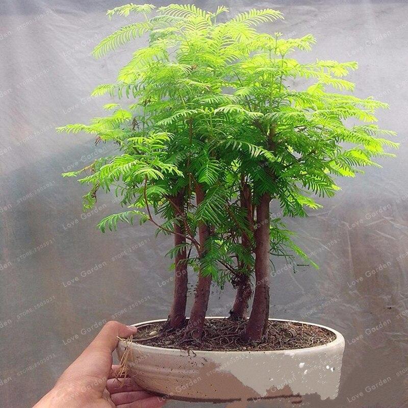 50 Pcs Pack Dawn Redwood Bonsai Tree Grove Metasequoia Glyptostroboides Bonsai Plant Diy Home Gardening Easy To Grow