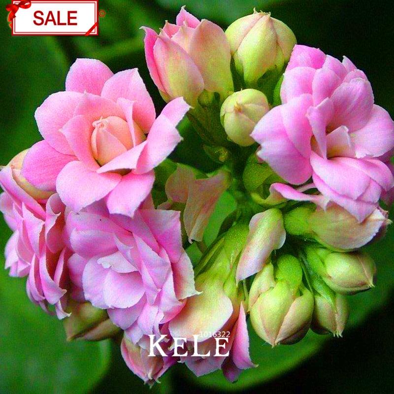 Mix dpqlu5 Promotion!Super Multi Kinds of Sundew Plant Flores Bonsai plantas Fresh cordyceps Novelty Garden Plants 100 pcs//Pack