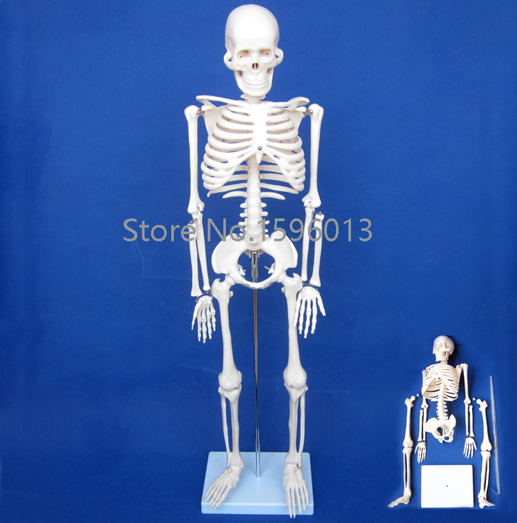 HOT 85cm full body Human Skeleton Model, Human Budget Skeleton Model bix a1005 human skeleton model with heart and vessels model 85cm wbw394