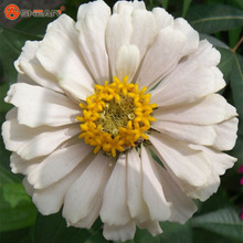 New Arrival White Zinnia Seeds Perennial Flowering Plants Potted Charming Chinese Flowers Seeds 100 Particles /lot