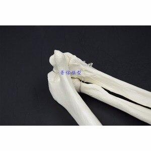Image 5 - 1:1 Human Bone Model of Bone Adult Arm of Upper Limb Bone Arm and Radius Hand Bone Medical Science School Teaching Supplies