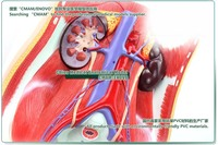 КУМИ] мочевыводящих путей, системы модель, 4 части, в разрезе, анатомия модели> модели мочевой