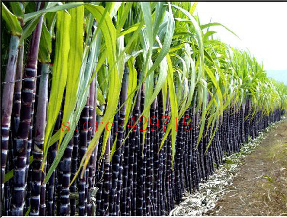 100 / bag of sugar cane seed in 2015 new home garden seed vegatable vitamin healing medicinal Seeds